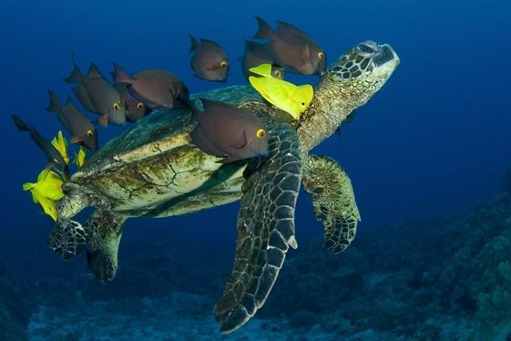 Crédit photo : http://just-we-mllez.over-blog.com/article-hawai-un-coin-de-paradis-le-monde-sous-marin-108287689.html